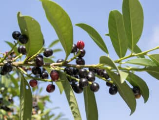 Prunus laurocerasus Kirschlorbeere