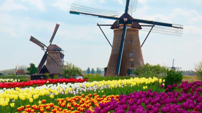Windmühlen vor Tulpenfeld